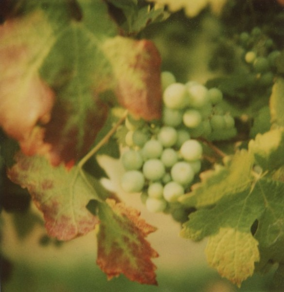 Grapes on the vine, Oliver BC. Photo: C. Hagemoen