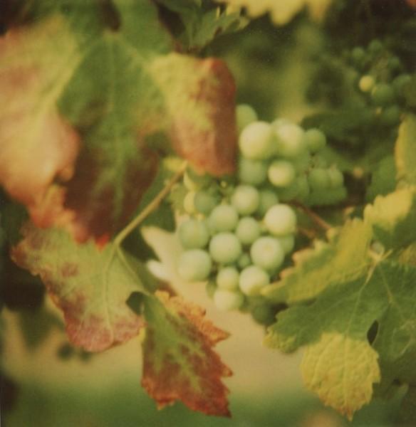 Grapes on the vine, Oliver BC. Photo: C. Hagemoen